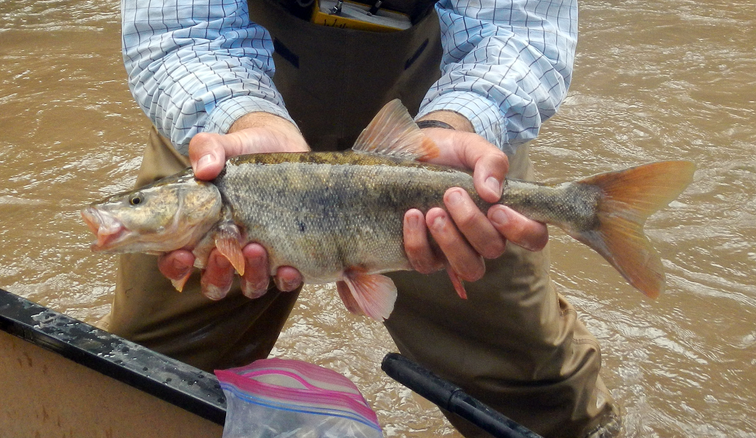 Verde river chub in the current for Az game and fish license
