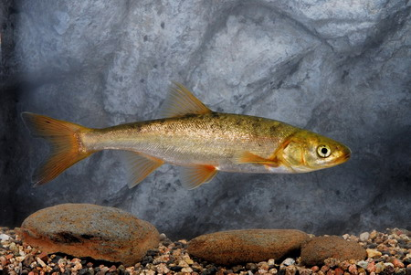 Roundtail chub in the current for Az game and fish phone number