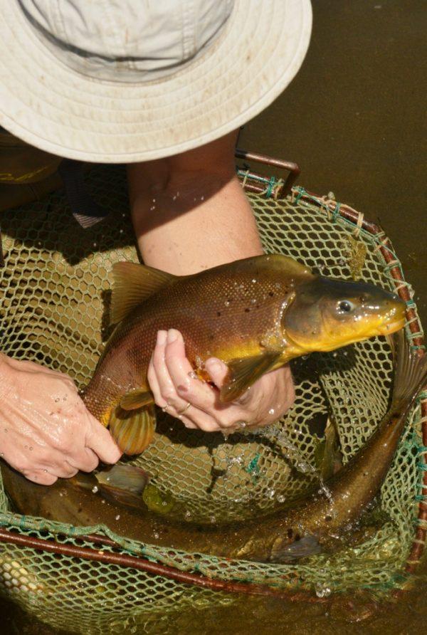 In the Current - Native Aquatic Species in Arizona